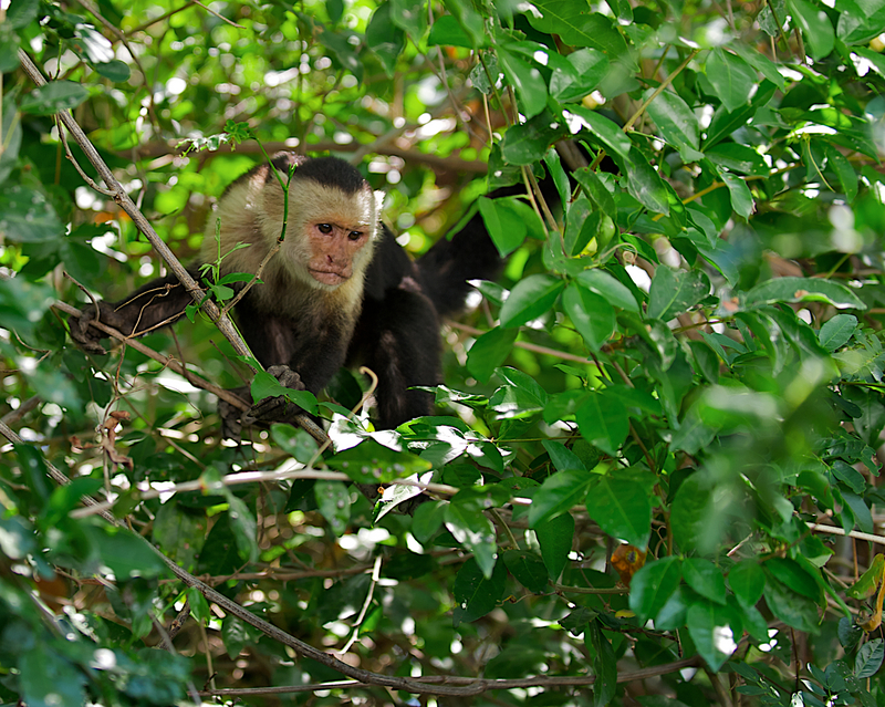 Capuchin Monkey, Guanacaste National Park Costa Rica