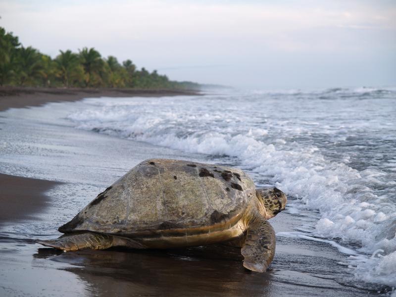 Sae Turtle, Tortuguero, Limon, Costa Rica