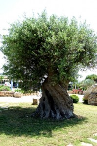 Ancient olive tree Ostuni, Italy