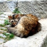 Apricale cats, Liguria, Italy