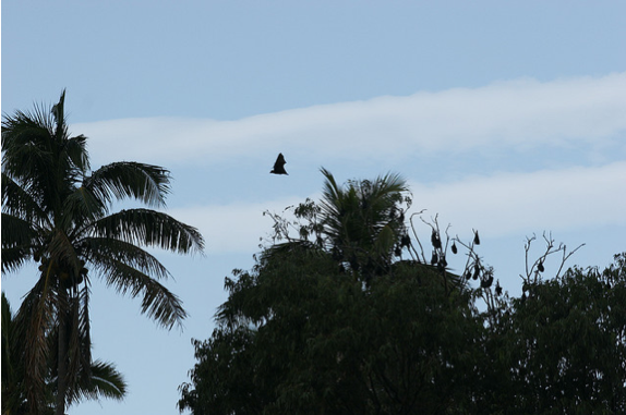 Flying Foxes of Tonga - Kolovai