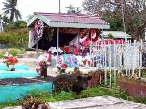 Tonga Cemetery with visiting pig