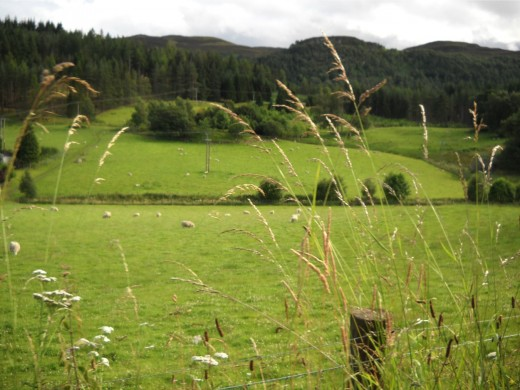 Sheep in Lush Green Fields of Scotland, Photo by R.E. Kongaika