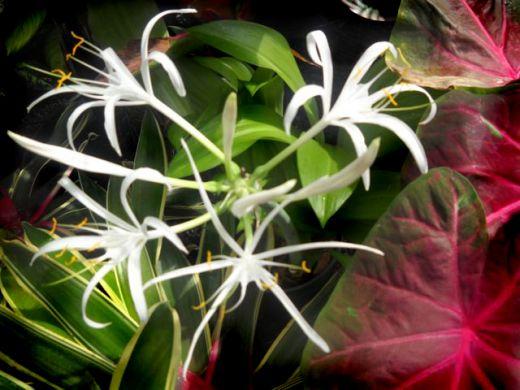 Foster's White Lilies , Foster Botanical Gardens Honolulu, Hawaii Copyright Ruth Elayne Kongaika