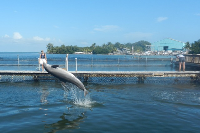 Dolphin performing, Dolphin Research Center, Florida Keys